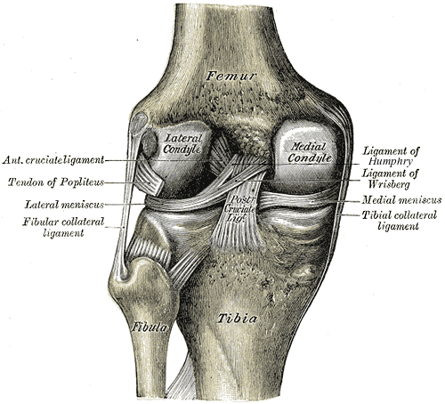 The structure of the knee joint - femur, tibia, fibula, MCL, PCL, LCL, ACL